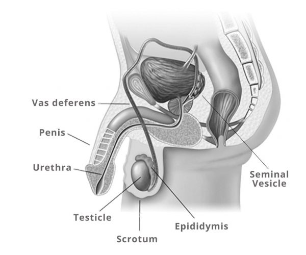 male_anatomy